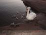 увидев еду, лебедиха встрепенулась - и с её спины, как спецназовцы, ссыпались лебедята)