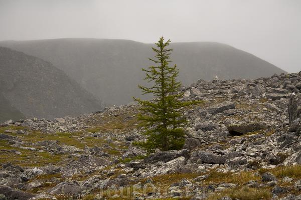 Одинокая лиственница в горах