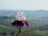 Ирис на фоне холмов Тосканы