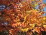 Золотые листья платана