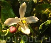 Бутон, цветок и плод лимона.
