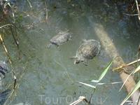 Маленькие родственники Большой черепахи живут в водоеме у термальных источников
