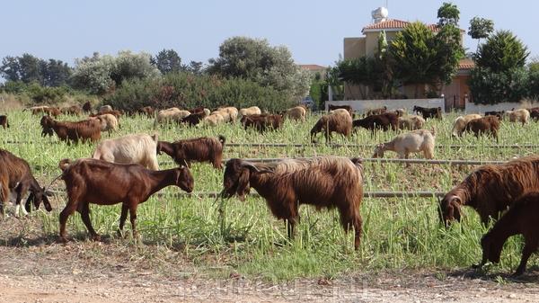 вот он - кусочек настоящего Кипра... таких животных мы еще не видели! :) долго не могли решить, кто это - бараны или козлы? даже пристали к местному пастуху!  - ответил - в стаде и те и другие :)