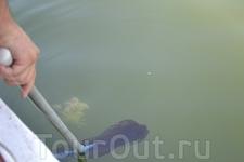 ловля голубого краба на леску с подвешенным кусочком курицы на р.Дальян