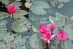 лилии в пруду около пагоды
