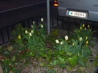 Весна в Вене. Март. Все клумбы  цветут!!!