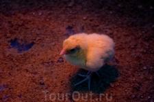 Научный центр «Ahhaa». Местный житель:) Каждый день в инкубатор закладываются около 6 яиц, из них вылупляются цыплята. Это можно даже увидеть, если повезёт ...