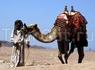 На верблюдах по Синаю
