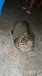 Кот Тигрич,обитатель одного из ресторанов на побережье.Весит 17 кг. Хорошо его там кормят:))