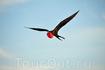 Фрегат - уникальная птица с Галапагосских островов