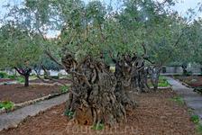 Древние оливы, под которыми, по преданию, Иисус наставлял своих учеников.
