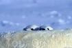 Глобальное потепление может привести к вымиранию этих красавцев Автор: Пол Никлен (Paul Nicklen)