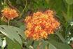Цветок Манго.