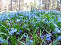 по всем городам южной Финляндии в мае цветут такие цветы