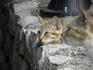 Вот такие они,черногорские коты, в душе-тигры!!!