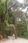 Сан-Паулу. Причудливые деревья в  Парке  Независимости