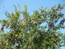 гранатовое дерево на площади Ханьи
