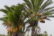 Финиковые пальмы и...