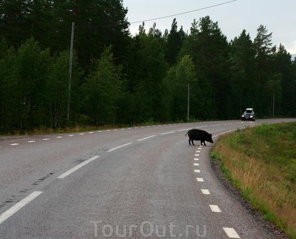 Дороги Швеции и местные обитатели.