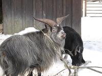 Шведский козел строит рожи.