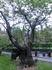 Очень старое дерево, наверное, такое же древнее, как сам Парламент.