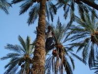 Танец жениха на пальме