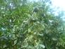 дерево мандорысмесь мандарина и апельсина.Растет на ферме .где и катались на осликахНам не повезло в августе его плоды были еще несьедобны.
