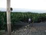 Долина Оротава утопает в банановых плантациях. Хозяин одной из них любезно разрешил нам провести фотосессию)