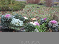Декоративная капуста прекрасно себя чувствует и в ноябре.
