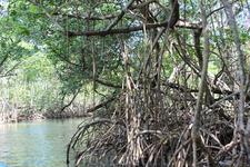 На моторной лодке плывем через мангровые заросли