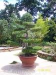 елка-бонсай