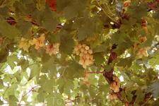 Удалось погулять по виноградным угодиям монастыря и даже полакомиться сладким виноградом))