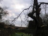 Очень живописное старое дерево. В набежавших тучках и утреннем тумане почему-то стала вспоминаться собака Баскервилей.