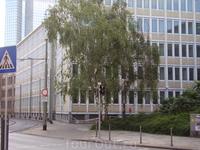 Родные берёзы на улицах Франкфурта.
