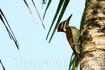 Малый индо-малайский дятел (Dinopium benghalense).