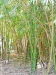 Небольшая бамбуковая роща