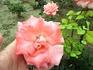 """В августе в Бендерах все еще цветут розы. Вообще Бендеры часто называют """"городом роз"""", хотя в последние годы многие клумбы с этими красивыми цветами ликвидировали ..."""