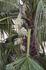 И пальма расцвела, жаль, что цвела всего один день...