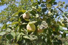 вокруг храма растут плодовые деревья Айва