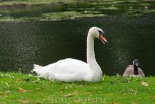 Лебедь в саду Hampton Court Palase