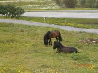 Пони на лужайке перед музеем викингов Лофотр в Борге.
