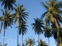 кокосовые пальмы на острове Ко Куд