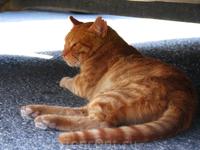В монастыре Превели много кошек. Они гуляют по монастырю, а некоторые, как этот рыжий кот, прячутся от знойного солнца под машинами.
