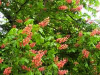 К 2005 году в саду насчитывалось 5000 видов растений и деревьев.  Вот такой, например, розовый каштан напомнил мне о центре Киева в прошлые годы.