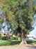 Помимо множества олив, на Эвии растут эвкалипты. Так удивительно, топать по опавшим листьям эвкалипта, как будто шагать по микстуре :)