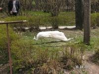 белый павлин