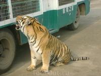 в тигрячьем заповеднике