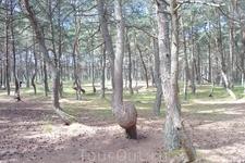 """На следующий день мы решили посетить """"Танцующий лес"""" , еще одна интересная достопримечательность Куршской косы."""