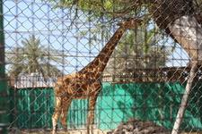До чего же хочется, братцы, на живом жирафе покататься!