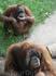 Обезяны в зоопарке живут на огромной территории, часть из которой закрыта и туристы могут поглазеть на приматов через стекло, а другая - открыта, и животные ...